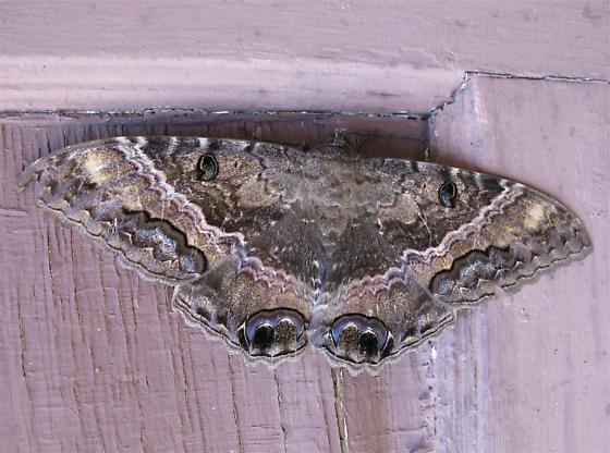 Ascalapha odorata - female
