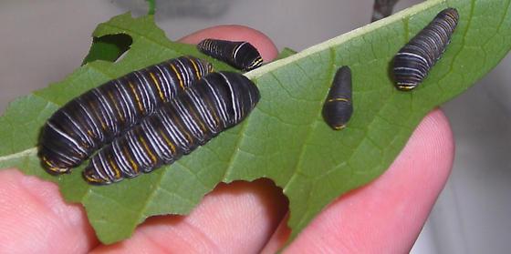 Zebra Swallowtail Larvae - Eurytides marcellus