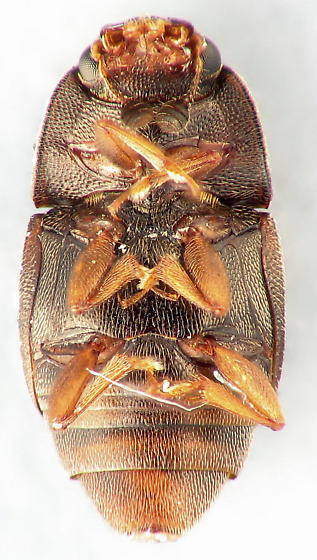 Carpophilus hemipterus - Dried-fruit Beetle - Carpophilus hemipterus