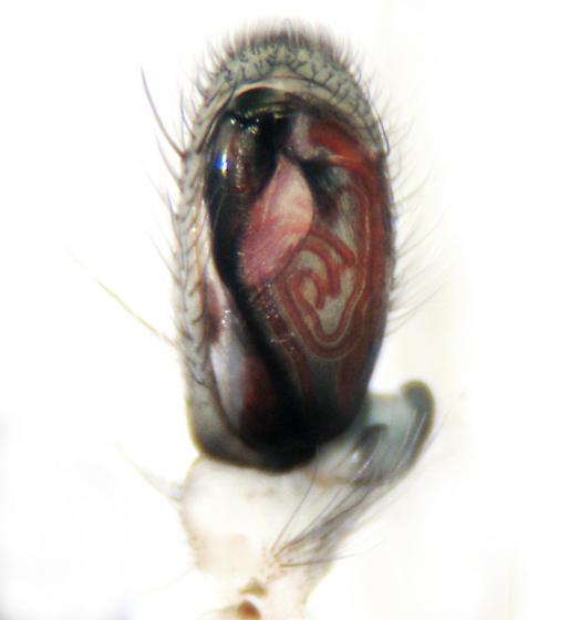 Sac Spider Palp - Clubiona pallidula - male