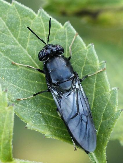 Big Eyed Beetle - Hermetia illucens
