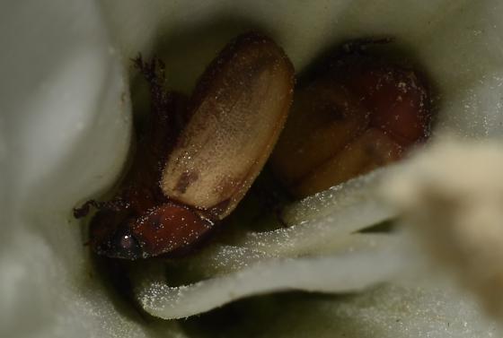 Beetle From Datura Flower