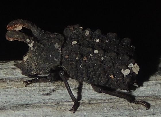Small horned black beetle - Bolitotherus cornutus