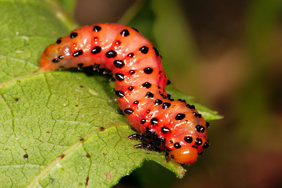 sawfly larva? - Arge coccinea