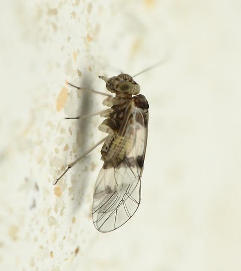 Indiopsocus? - Indiopsocus ceterus