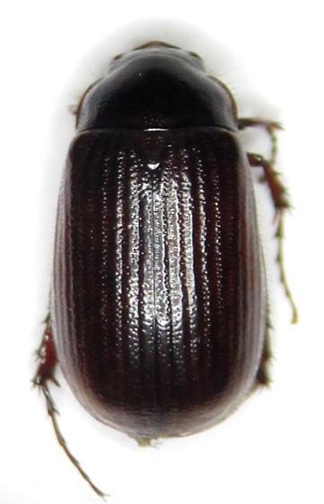 Serica - female
