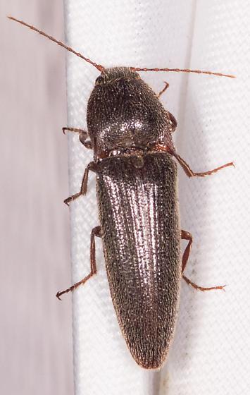 Beetle for ID - Melanotus communis-complex