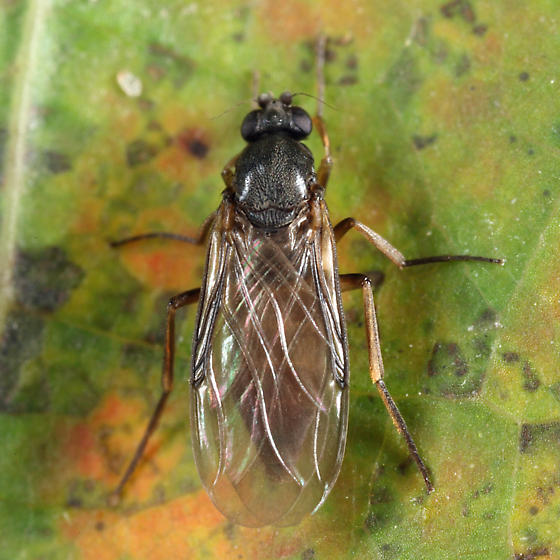 Phorid - Gymnophora luteiventris - female
