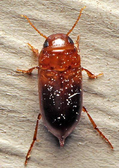 Beetle - Celina hubbelli