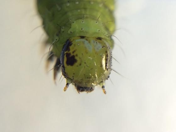 Noctuinae - Clackamas, OR
