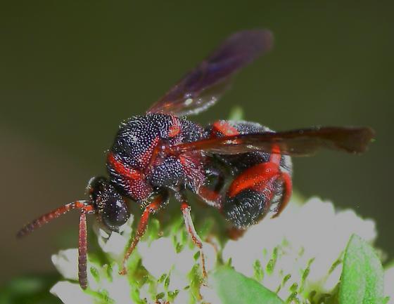 Chalcid Wasp? - Leucospis slossonae - male