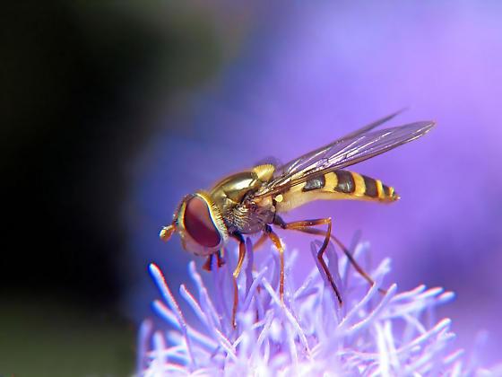 Syrphidae - Syrphus - female