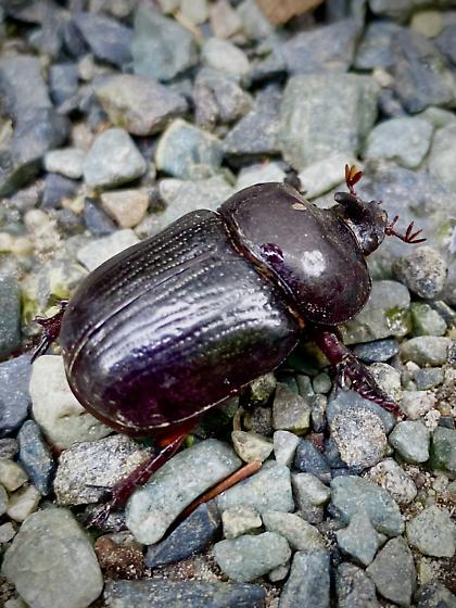 Male Rhinoceros Beetle - Xyloryctes jamaicensis? - Xyloryctes jamaicensis - male