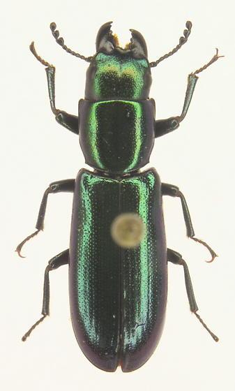 Temnoscheila virescens
