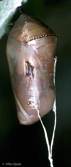 Danaus plexippus (Linnaeus) - Danaus plexippus