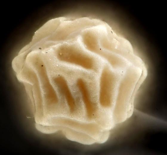 Clam shrimp egg,