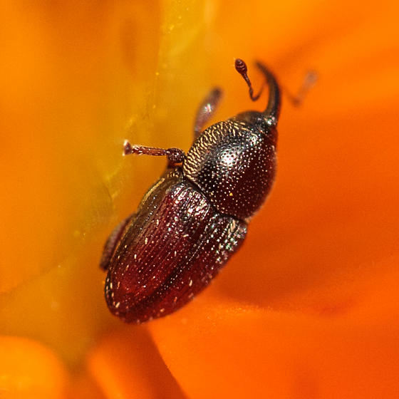 Weevil on yellow cosmos