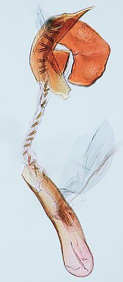 Cochylis hoffmanana - Cochylichroa hoffmanana - male