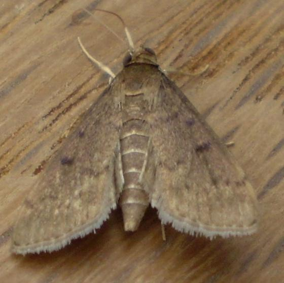 Pyraustinae - Herpetogramma phaeopteralis