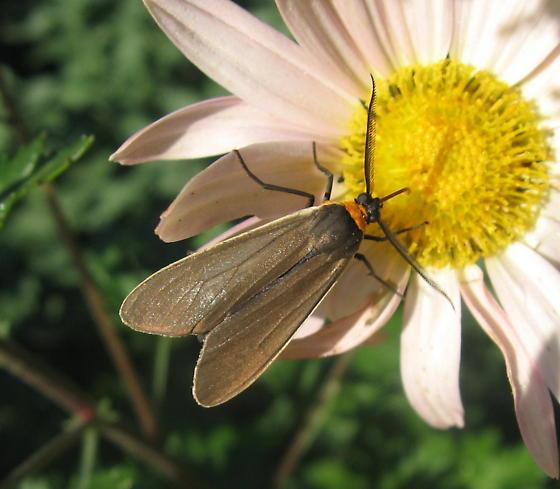 Yellow-collared Scape Moth - Cisseps fulvicollis - male