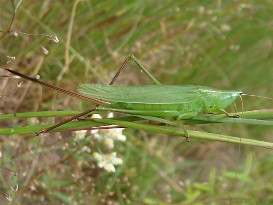 Round-tipped? - Neoconocephalus retusus - female