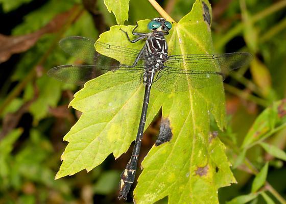 Elusive Clubtail - Stylurus notatus - Stylurus notatus - male