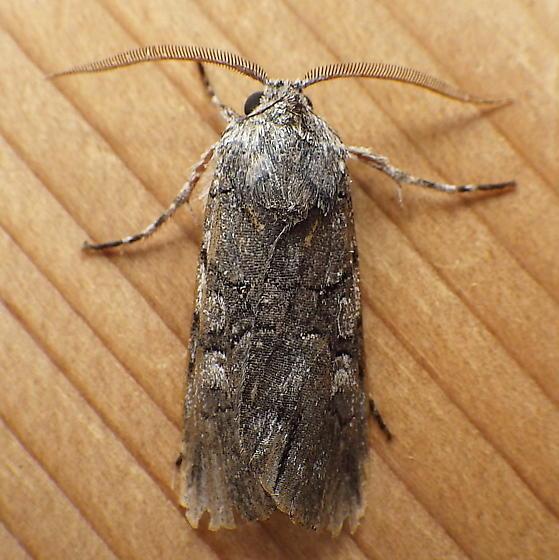 Noctuidae: Sympistis chionanthi - Sympistis chionanthi