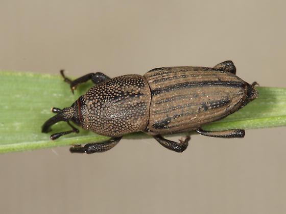Sphenophorus venatus? - Sphenophorus venatus