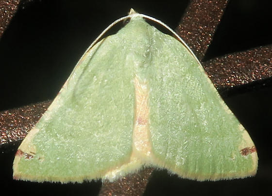 Chloraspilates bicoloraria - female