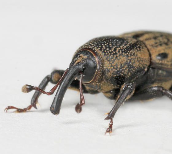BG2616 E4930 - Sphenophorus venatus