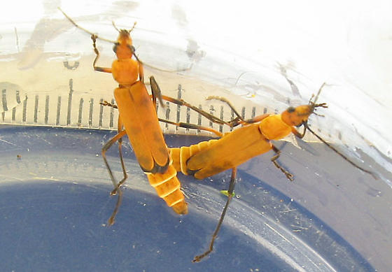 all-yellow soldier beetles - Chauliognathus discus