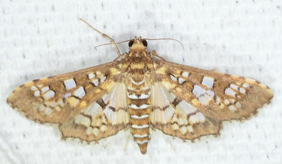 Samea ecclesialis - Assembly Moth - Samea ecclesialis