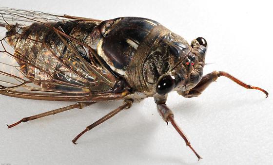 Large Cicada - Megatibicen resonans