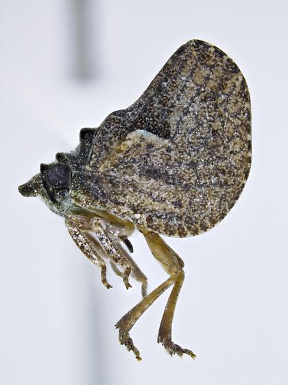 Philatis tuberculata - male
