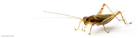 Anaxipha tinnulacita - male