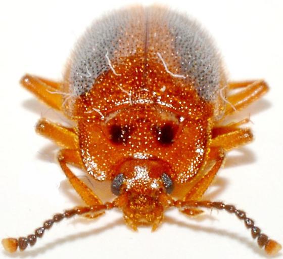 Epipocus punctatus