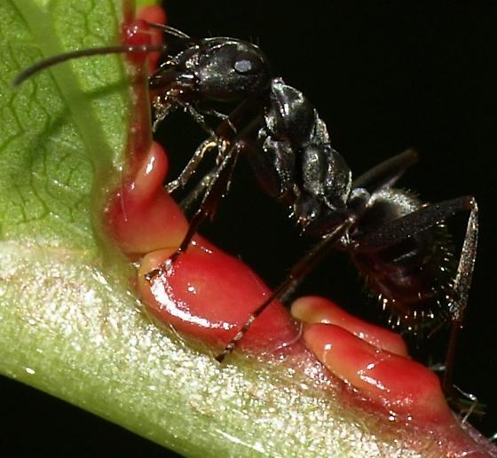Ant farm - Formica subsericea