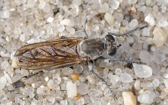 beach robber fly - Stichopogon trifasciatus