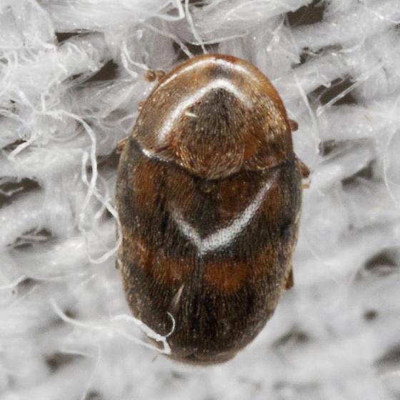 Tiny Beetle - Clypastraea lepida