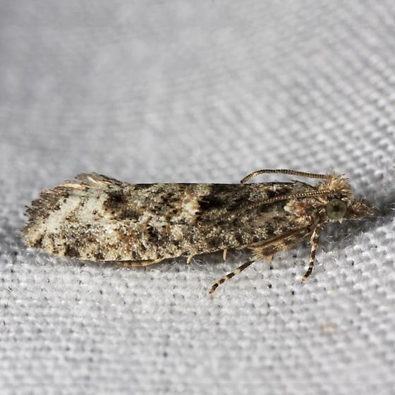 Chimoptesis chrysopyla