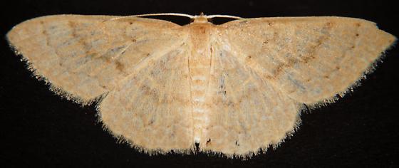 Unknown Geometer? - Pleuroprucha insulsaria