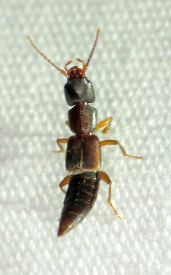 small Rove beetle - Achenomorphus corticinus
