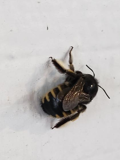 I found this bug in the carport yesterday. - Xylocopa tabaniformis