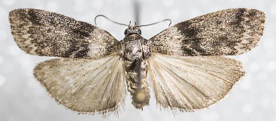 Meroptera pravella?
