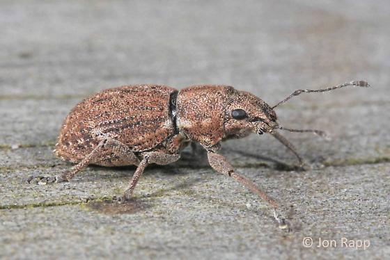 Fuller Rose Beetle - Naupactus cervinus
