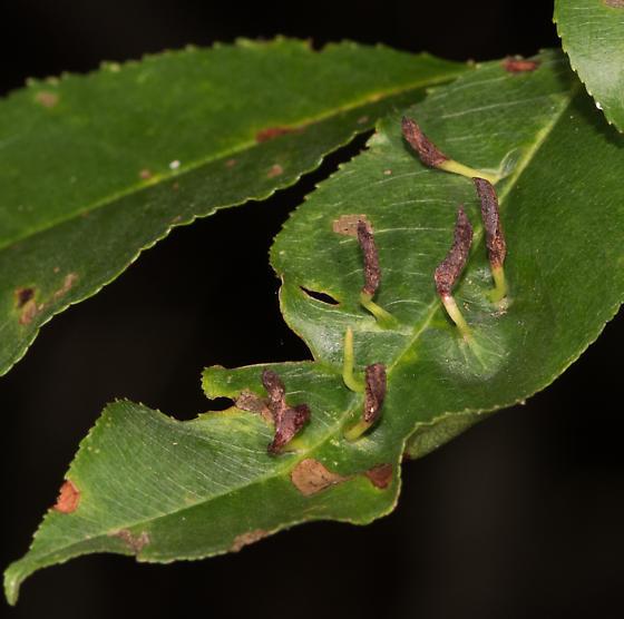 Eriophyes cerasicrumena? - Eriophyes cerasicrumena
