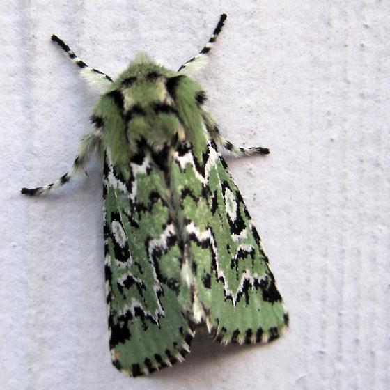 Moth - Feralia deceptiva