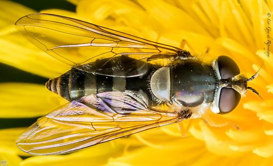 Diptera. Syrphidae. Eristalis. - Epistrophe grossulariae - female