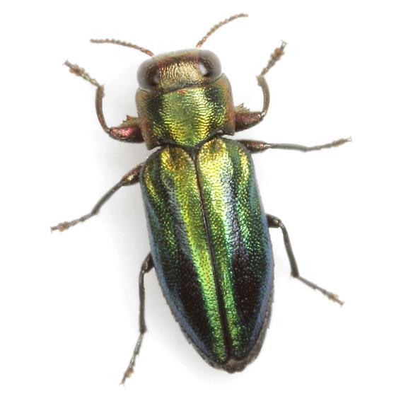 Chrysobothris p. purpureovittata Horn - Chrysobothris purpureovittata
