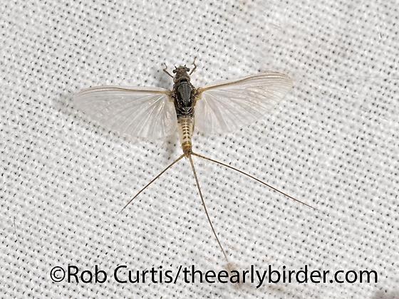 3024858 mayfly - Tricorythodes explicatus
